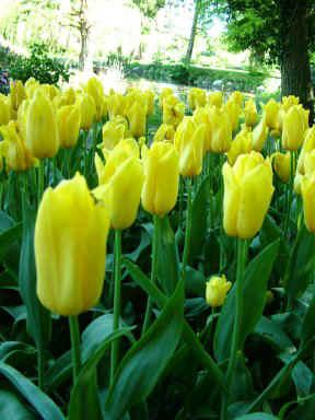 tulipaner-udstilling-gavnoe-lars-stounberg-025