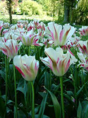 tulipaner-udstilling-gavnoe-lars-stounberg-030